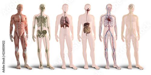 Digital 3d render of human body organs Fotobehang