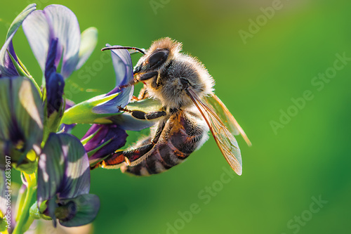 Fototapeta My dream lady - Small bee on a purple clover blossom in the evening sun