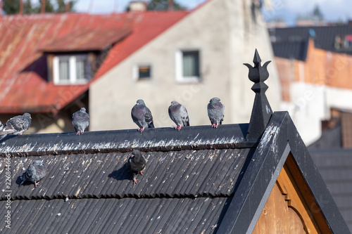 Group of pigeons on roof of traditional wooden house in Zakopane in Poland.