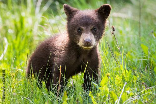 Obraz na płótnie Black bear cub