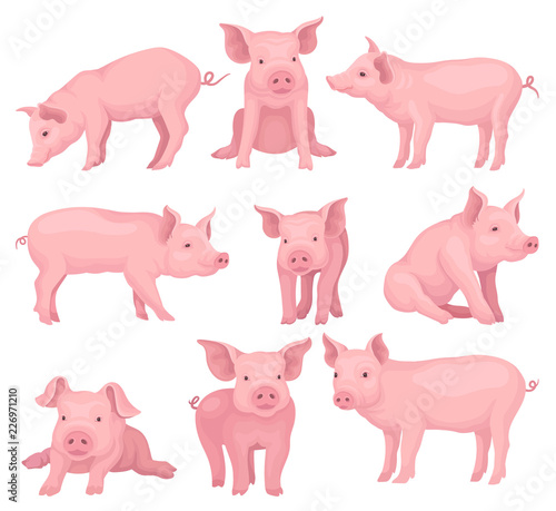 Vector set of pigs in different poses Fototapeta