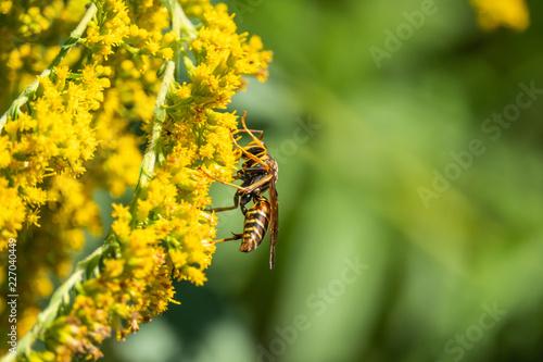 Vászonkép Northern Paper Wasp on Goldenrod Flowers
