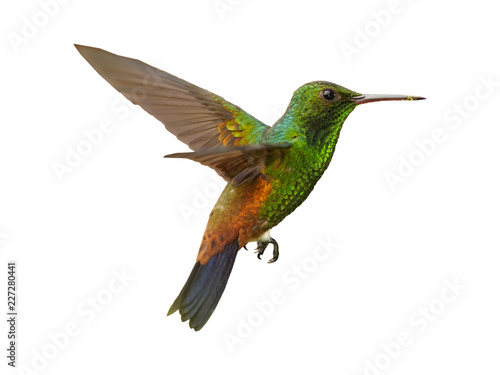 Fotografia Isolated on white background, shining green, caribbean hummingbird with coppery colored wings and tail, Copper-rumped Hummingbird, Amazilia tobaci hovering in the air
