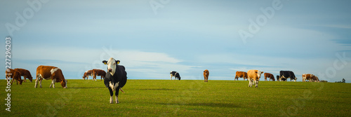Tableau sur Toile Dairy Cows In Pasture