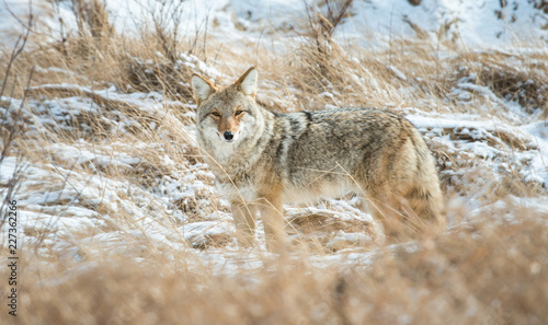 Canvas Coyote in the wild