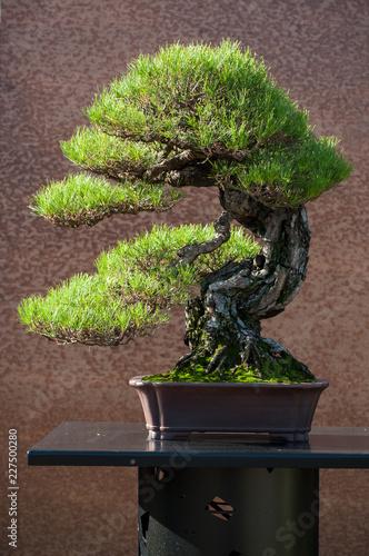 closeup of pine bonsai in a japanese garden
