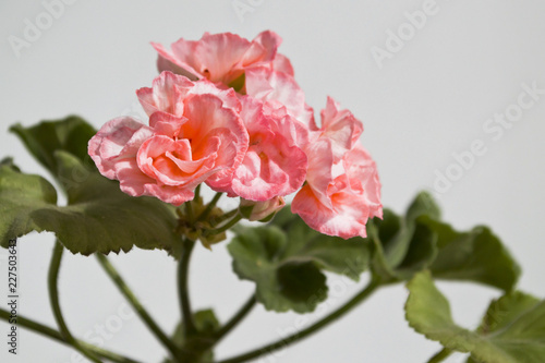 pink geranium flowers on a gray background