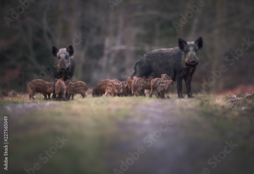 Valokuvatapetti Wild boar (Sus scrofa) adults and young humbugs in forest path/clearing