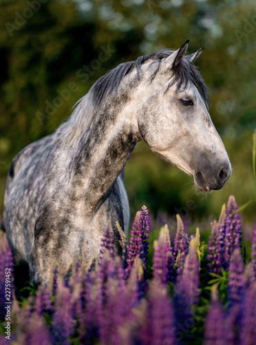 Fototapeta premium Portret konia czystej krwi arabskiej wśród kwiatów łubinu.