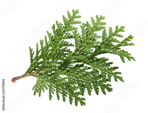 Branch of thuja isolated on white background