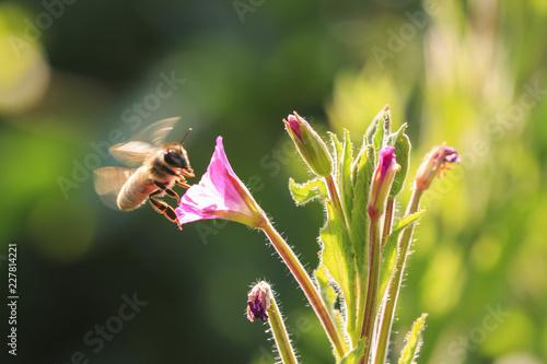 Obraz na plátně Honey bee insect pollination