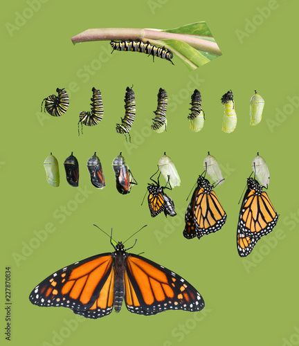 From caterpillar to butterfly. Monarch butterfly cycle. Isolated on green background
