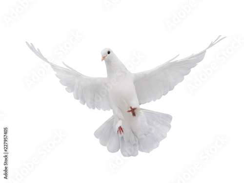 Fotografering free flying white dove isolated