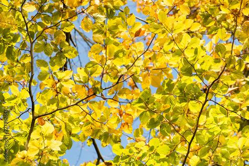 jesienne pożółkłe liście