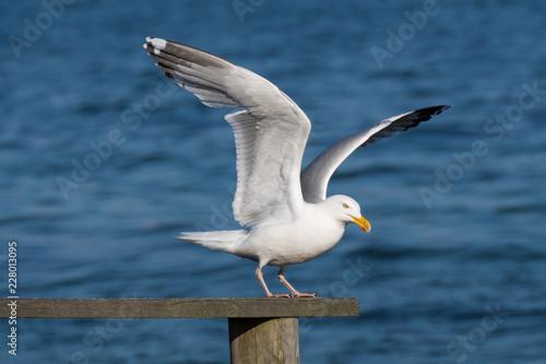 Carta da parati seagull in takeoff
