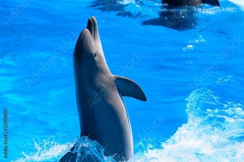 Billede på lærred Portrait of dolphin performing in a dolphin show