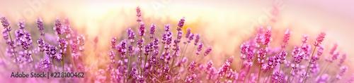 Fototapeta premium Miękka i selekcyjna ostrość na lawendowym kwiacie, piękna lawenda w kwiatu ogródzie