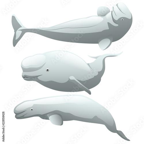 Stampa su Tela A set of exotic beluga whale isolated on white background