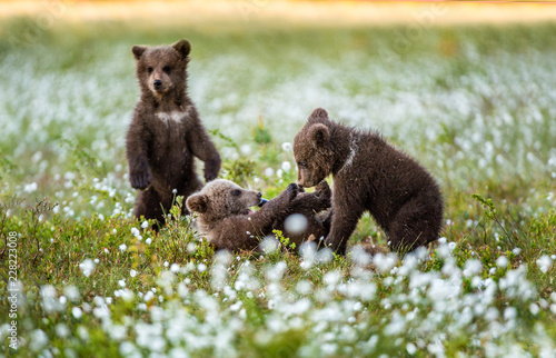 Tablou Canvas Bear Cub stands on its hind legs