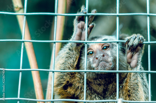 Canvas-taulu The monkey is behind bars. In a cage.