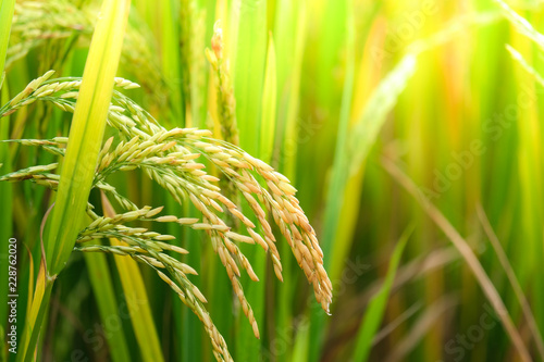 Rice field. Closeup of yellow paddy rice field with golden sun rising in autumn. Royalty high-quality free stock image of beautiful close up of organic rice fields or paddy field prepare the harvest
