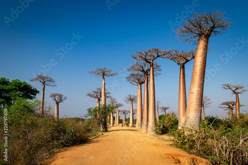 Photo Avenue of the Baobabs near Morondova, Madagascar.