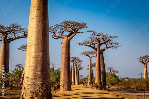 Obraz na płótnie Avenue of the Baobabs near Morondova, Madagascar.