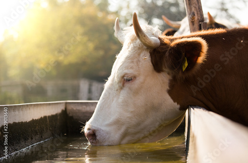 Cow drinking water