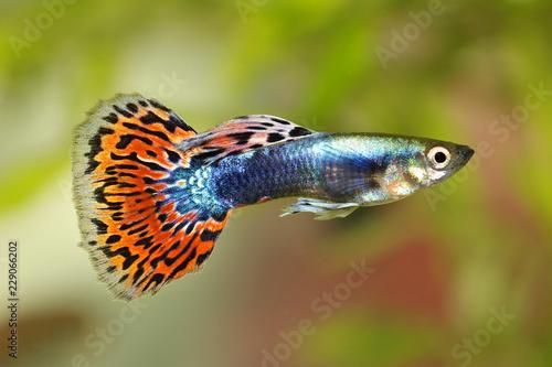 Guppy Poecilia reticulata colorful rainbow tropical aquarium fish
