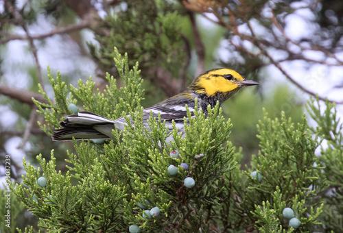 Obraz na plátně Golden-cheeked Warbler