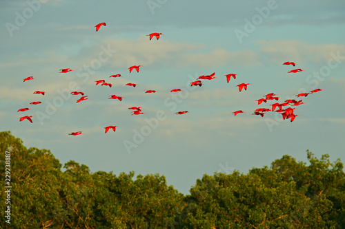 Fotografering Scarlet Ibis, Eudocimus ruber, exotic red bird, nature habitat, bird colony sitting on the tree, Caroni Swamp, Trinidad and Tobago, Caribbean