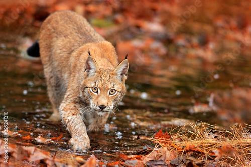 Fototapeta premium Ryś chodzący po pomarańczowych liściach z wodą. Dzikie zwierzę ukryte w środowisku naturalnym, Niemcy. Scena dzikiej przyrody z lasu, Niemcy. Ryś w jesiennej roślinności w lesie.