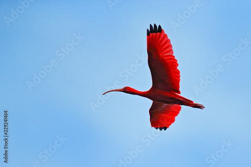 Foto Scarlet Ibis, Eudocimus ruber, exotic red bird, nature habitat, bird colony sitting on the tree, Caroni Swamp, Trinidad and Tobago, Caribbean
