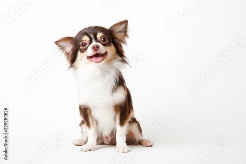 Obraz na plátně Chihuahua dog sitting on white studio background