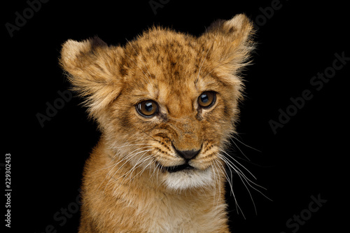 Fototapeta premium Zabawny portret Cute Lion Cub z ciekawy twarzy na białym na czarnym tle, widok z przodu