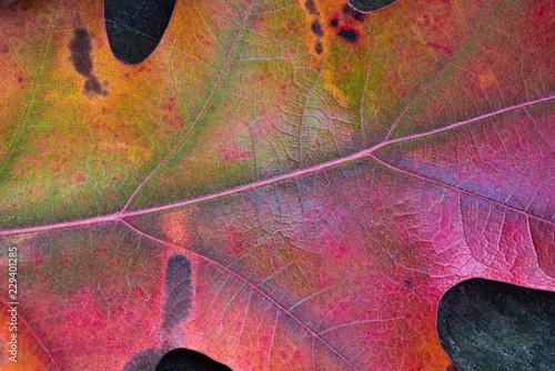 Detail of oak leaf
