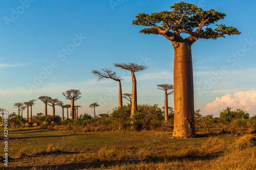 Cuadros en Lienzo Beautiful Baobab trees at sunset at the avenue of the baobabs in Madagascar
