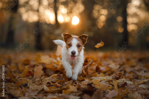 dog in the autumn leaves running in the Park. Pet on nature. Funny and cute Jack Russell Terrier