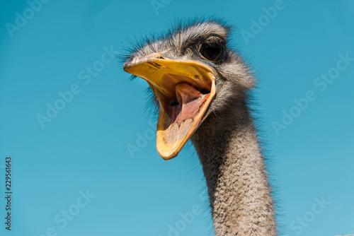 Fotografie, Tablou beautiful ostrich with open beak against blue sky