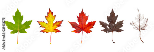 Fényképezés Row of maple leaves from green to rotten isolated on a white background