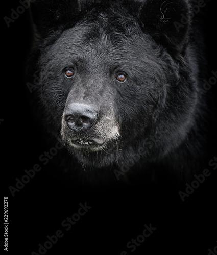 Fototapeta premium Niedźwiedź czarny (Ursus americanus) portret czarno-biały