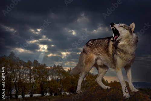 Fototapeta an angry wolf grins and growls against the backdrop of the autumn landscape