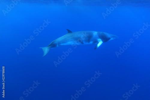 Fototapeta premium Karłowaty wieloryb karłowaty