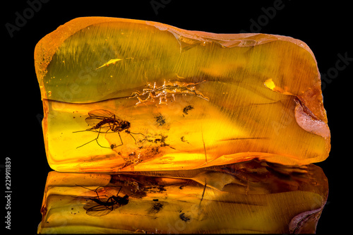 Fototapeta Amazing baltic amber with frozen in this piece a mosquito, isolated on black background