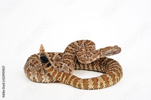 Fototapeta premium Basilisken-Klapperschlange (Crotalus basiliscus) - Mexican west coast rattlesnake