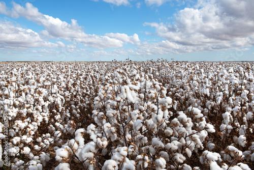 Fotografija Cotton Crop