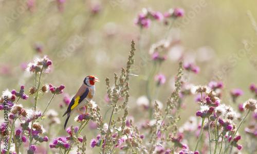 Valokuva Male Goldfinch bird eating purple thistle, the favourite food (latin: Spinus tri
