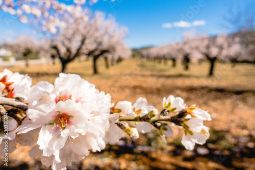 Canvas Blooming almond tree branch and almond garden background.
