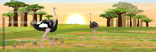 Tela A flock of birds of African ostriches their chicks walks on the savannah