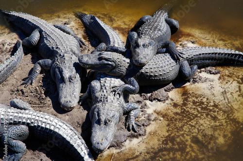 The captive alligators island the farm located in St. Augustine, Florida, USA